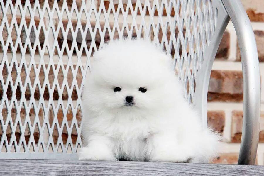 Белый люксовый щенок