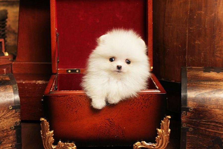 Бело-кремовый щенок
