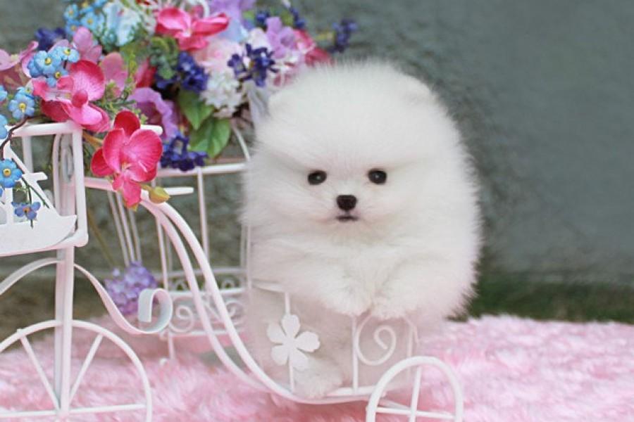 Белый щенок шпица