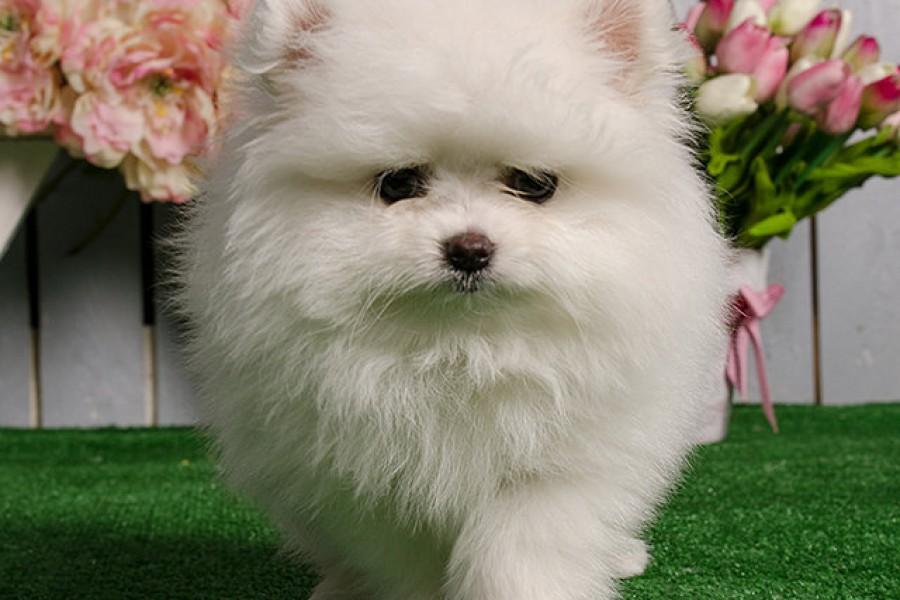 Белый щенок померанца