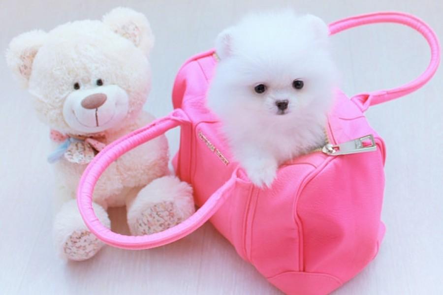 Миниатюрный белый щенок